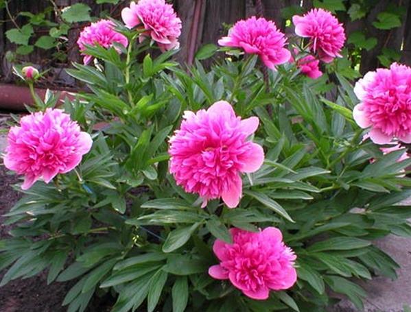 цветы для дачи многолетние фото.